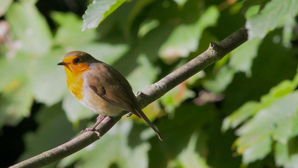 """""""Bob the Robin"""""""