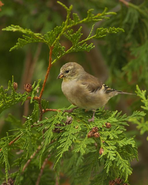 American Goldfinch balancing act
