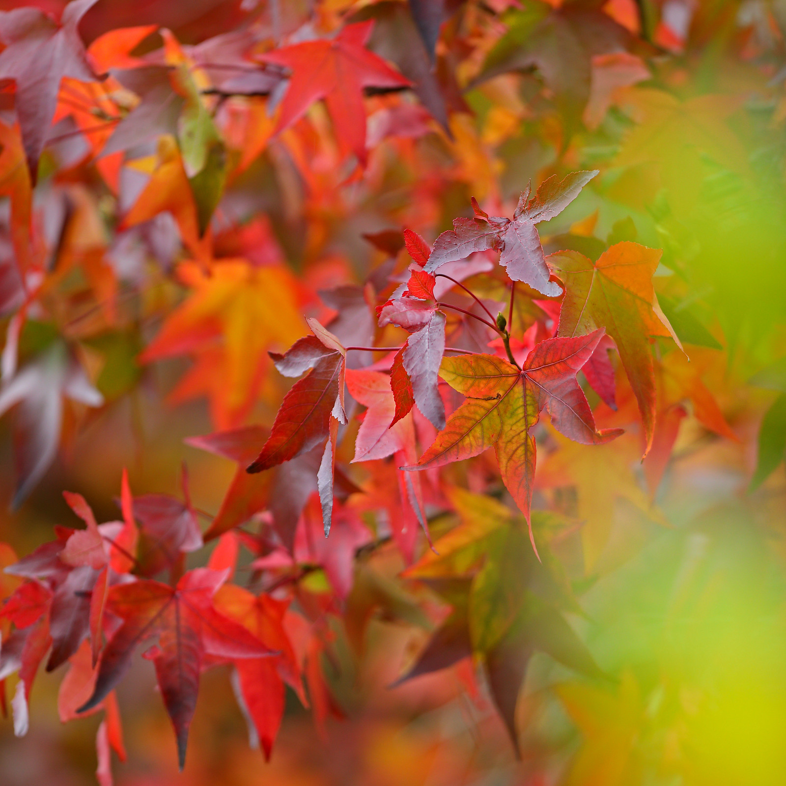Vivid Japanse Maple Autumn Leaves, Little Horsted