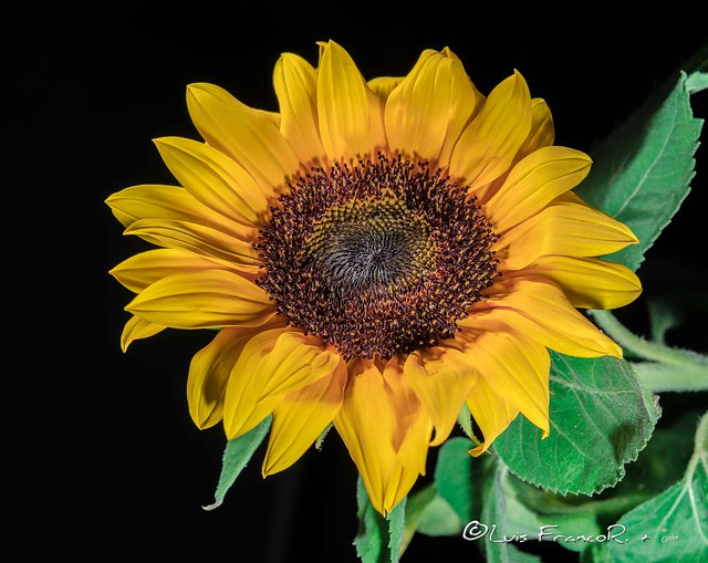 Girasol y sombras  -  Sunflower and shadows