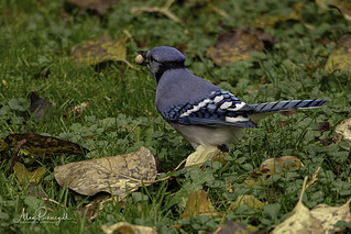 Blue Jay with peanut | by Alan Pickersgill 2020