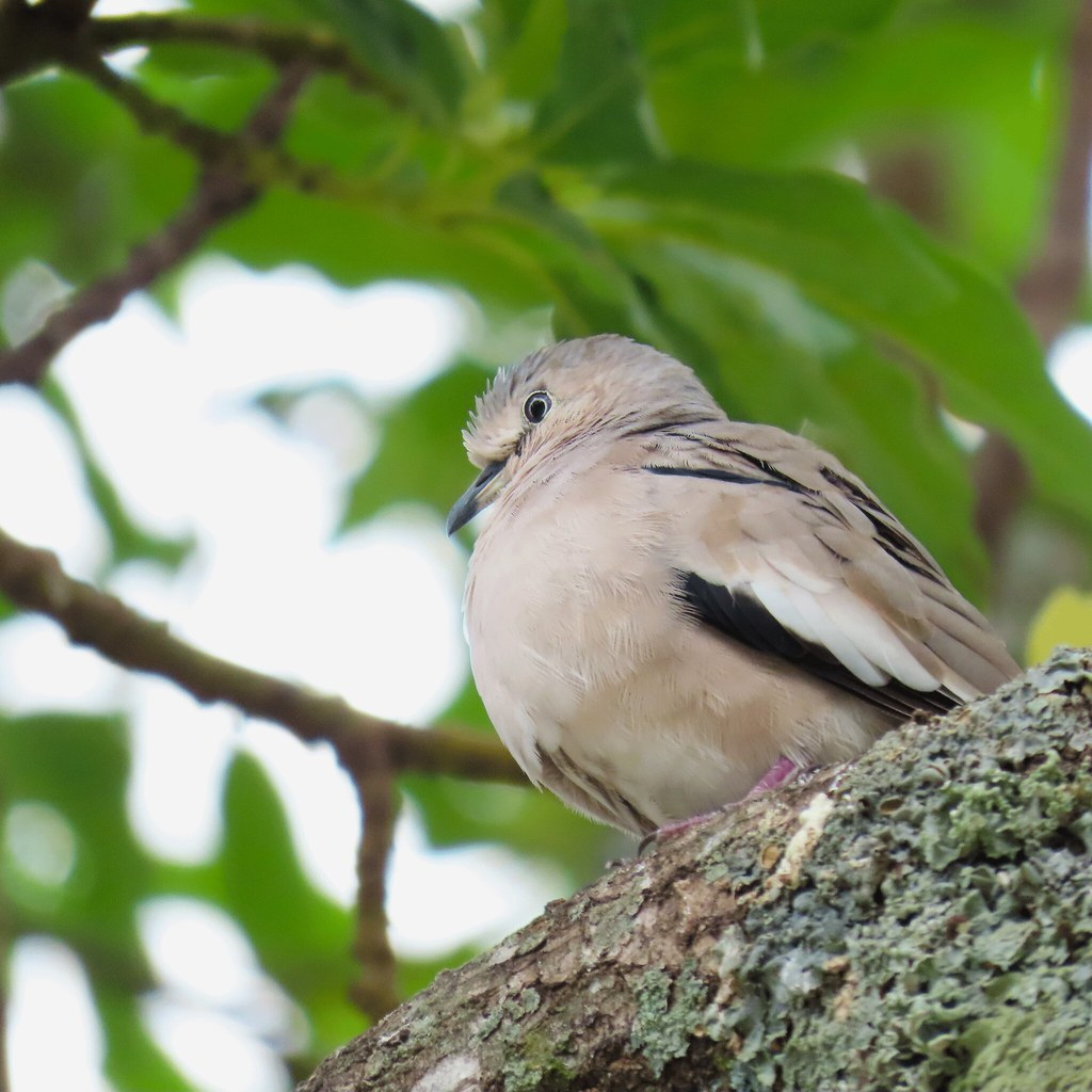 Rolinha-picui/Picui Ground-Dove