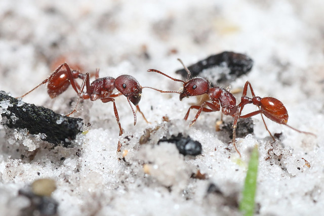 Florida harvester ant