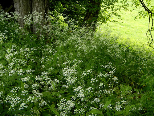 Queen Anne's Lace and green field in the woods by in Llangollen, Wales