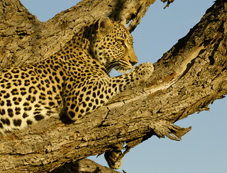 A male Leopard (Panthera pardus), just relaxing after feasting heavily on its kill_the remains of the unfortunate impala are just a few feet behind its location