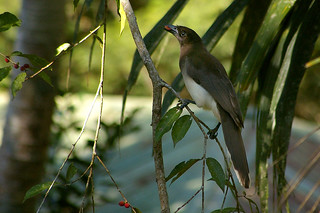 Brown Jay (Psilorhinus morio) | by Thanks for 4 million views