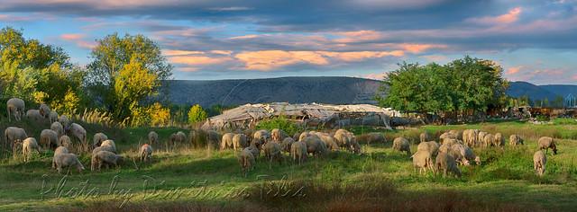 ...τὰ πρόβατα τῆς νομῆς Mου  The lambs of My herbage  4