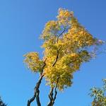 Golden tree in Avenham Park, Preston