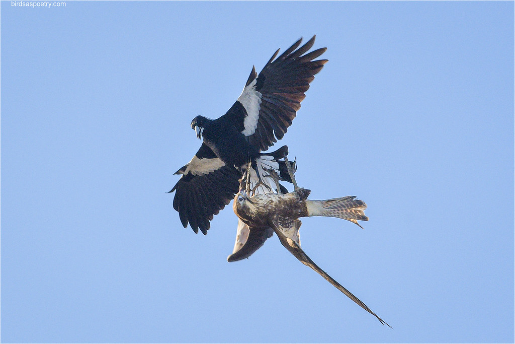 Australian Magpie, Brown Falcon: Territorial Combat