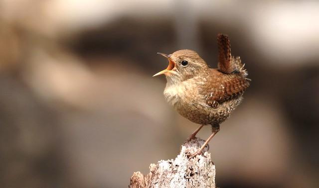 Winter Wren / Troglodyte des forêts ( Richard )