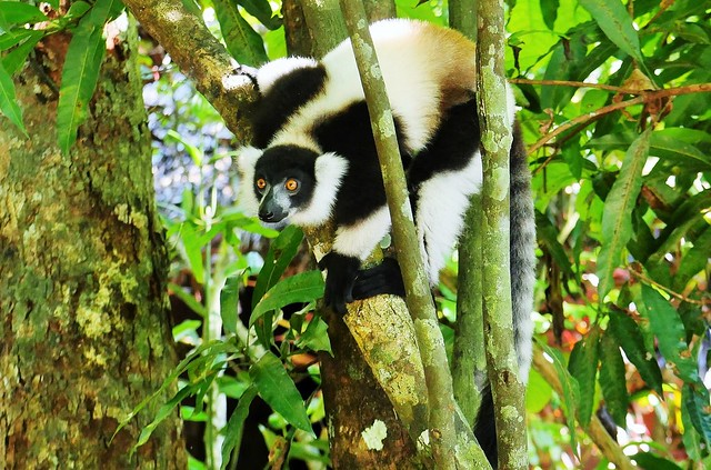 Black and White Ruffed Lemur  (Varecia variegata)
