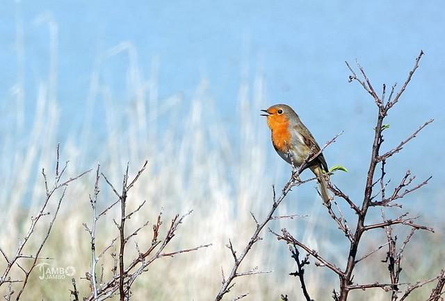 Il canto di Robin