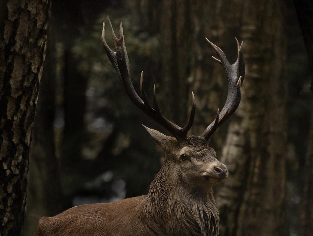 Red-deer_0831