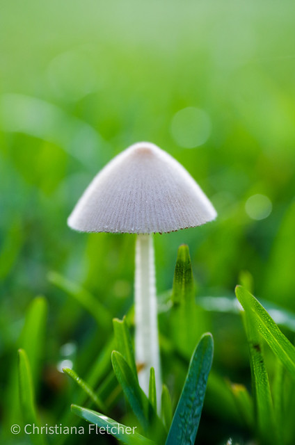 Small mushroom in grass. Macro.