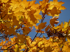 Old gold and orange_0500