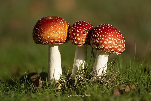 Fly Agaric Toadstools - Amanita muscaria