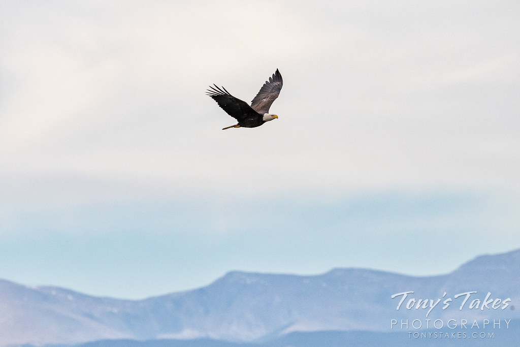 Bald eagle takes to the skies over the Rocky Mountains.