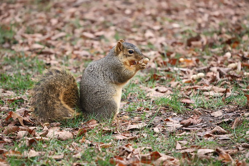 Fox Squirrels in Ann Arbor at the University of Michigan on October 26th, 2020