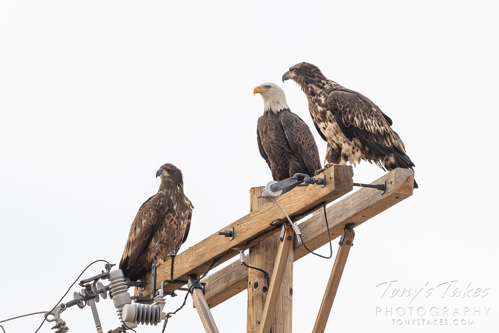 Young bald eagles hanging out with dad