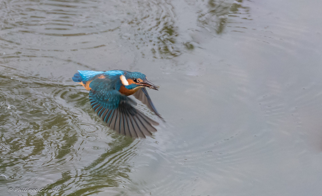 Martin-pêcheur d'Europe (Alcedo atthis - Common Kingfisher)