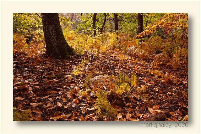 The chestnut tree, forêt de Fontainebleau