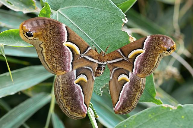 Samia canningi - a Giant Silkworm Moth