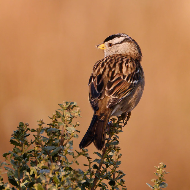 Perched: White-crowned Sparrow