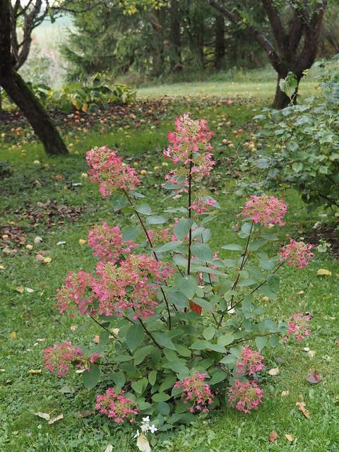 Hydrangea paniculata 'Angel's Blush'