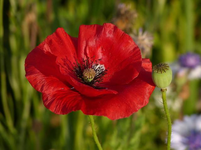 A September Poppy