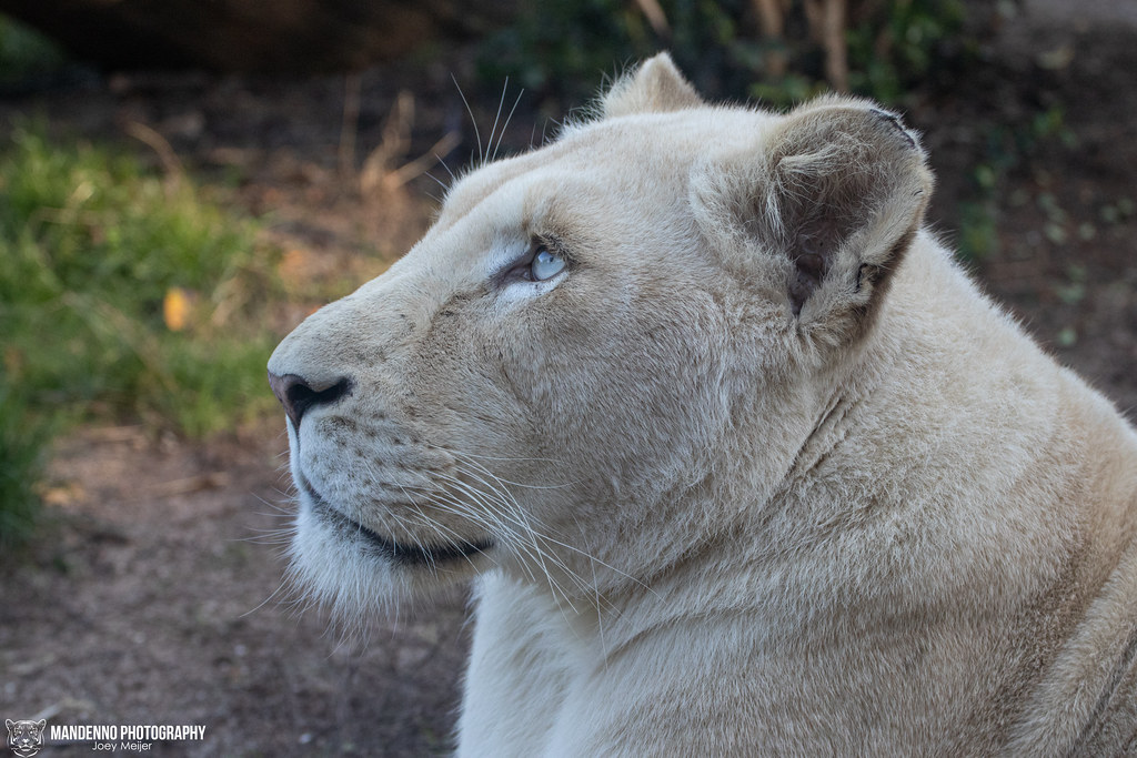 African White Lioness - Zoo Amneville - France