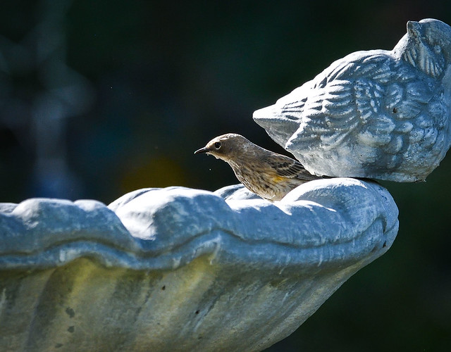Day 298/365 ~ Yellow Rumped Warbler at the birdbath