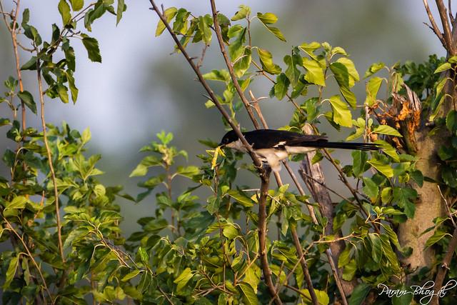 Pied Cuckoo - IV (PB2_1252)