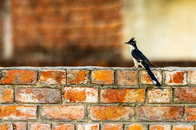 Pied Cuckoo - I (PB2_1221)