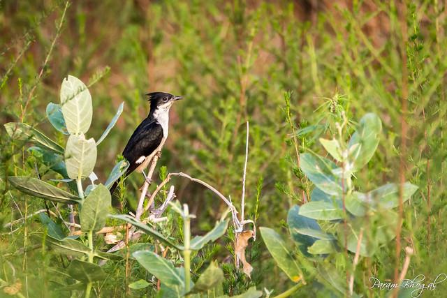 Pied Cuckoo - III (PB2_1249)