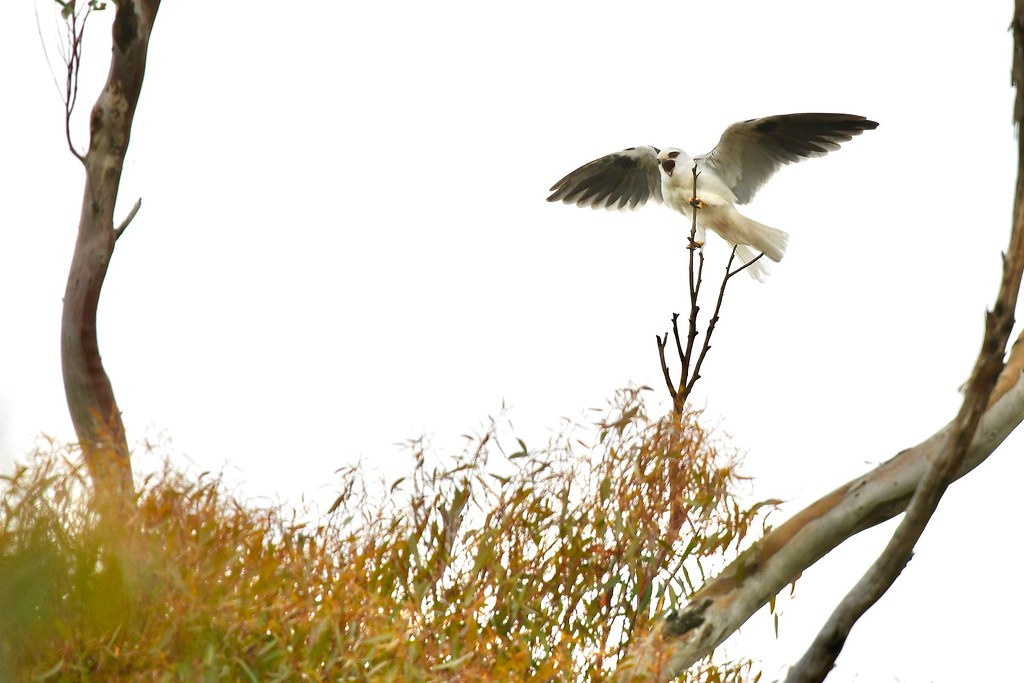 Black-shouldered Kite ( mum calling to the young )