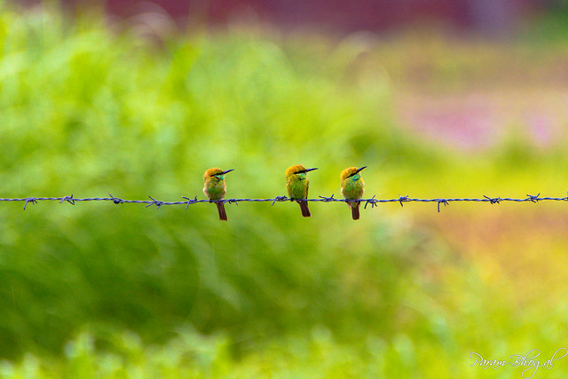 Green Bee-Eater Trio (PB2_1461)