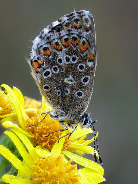 Silbergrüner Bläuling (Lysandra coridon) oder Himmelblauer Bläuling  (Lysandra bellargus) an seinem feuchten Schlafplatz