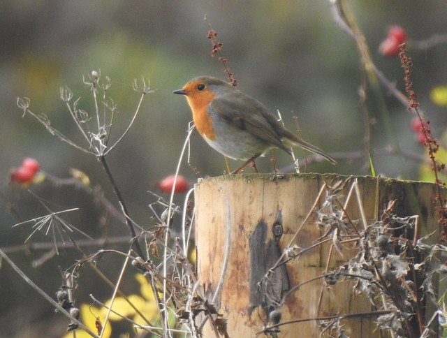 Robin On Fencepost at Lamesley Pastures