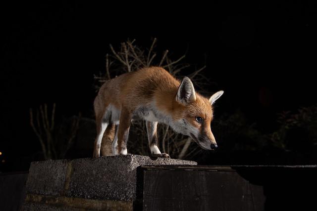 Socks the Urban fox