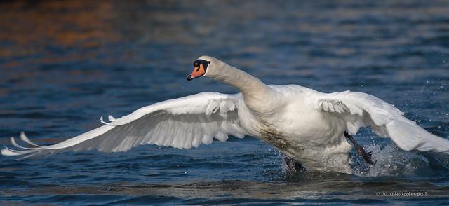 Swan Take-off (57)