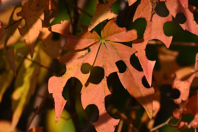 Bee Cut Leaves