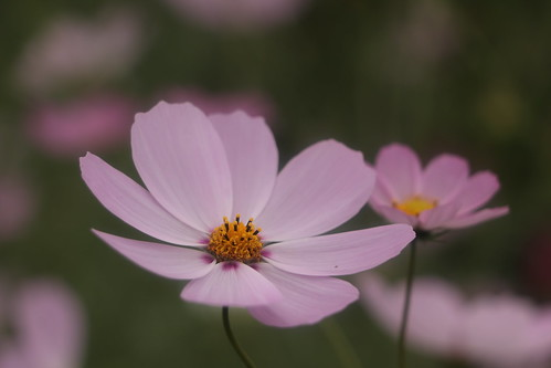 Cosmos in Adachi Urban Agriculture Park | by walking.biking.japan