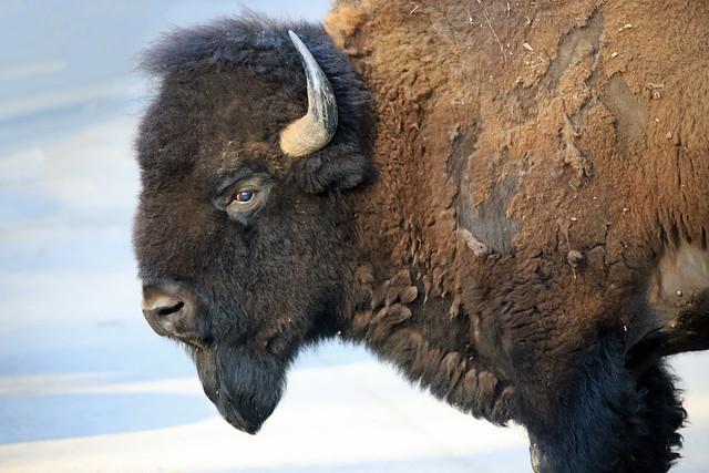 Bison - Portrait of Power
