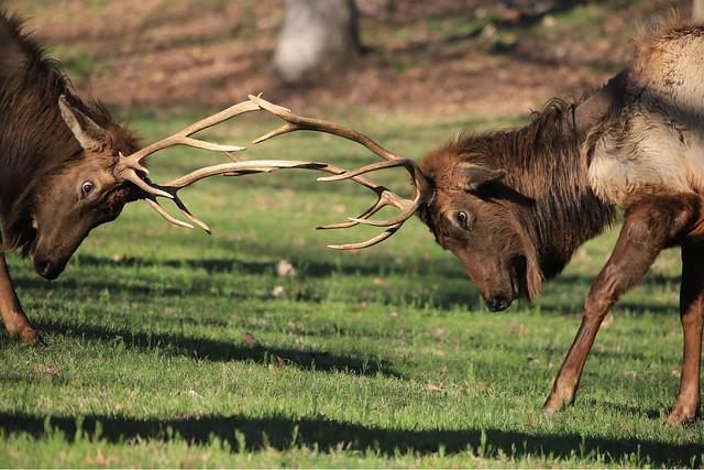 Elk Bull Fight