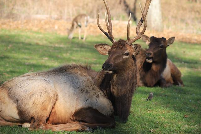 Elk - Nature's Funny Moments