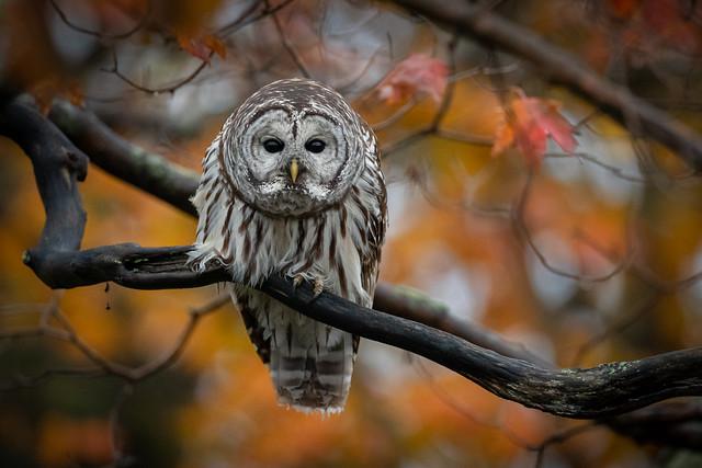Barred Owl | Strix varia | Chouette rayée