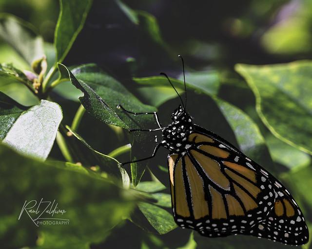 Monarch #35