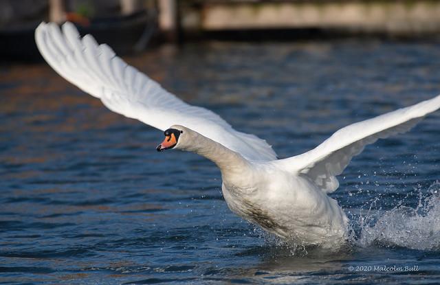 Swan Take-off (56)