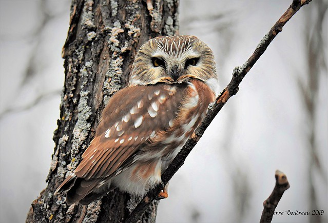 Petite nyctale - Northern saw-whet owl Yamachiche Décembre - December 2019.