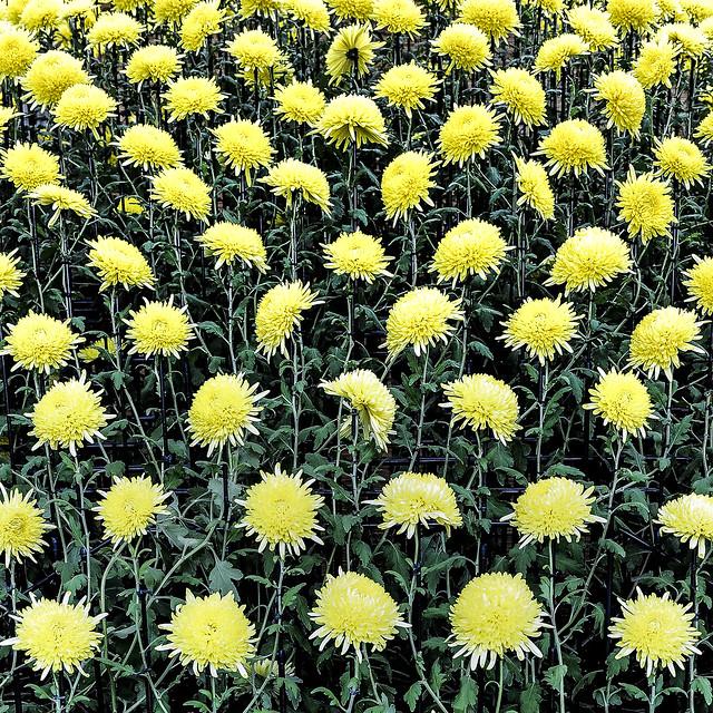 Chrysanthemum Exhibition in Shinjuku Gyoen